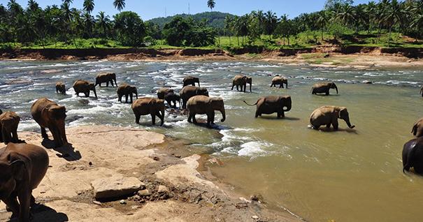 Приют для слонов Пиннавела (Шри-Ланка)